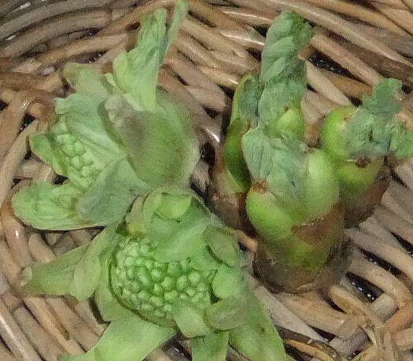 タラの芽とふきのうとうの画像