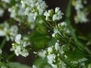 ホースラデッシュの花